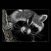 Racoon, Scratchboard, drawing, Underwood