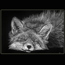 Sleeping                 Fox, Fox, scratchboard, drawing, Underwood