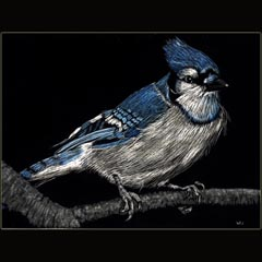 Bluejay,                 Scratchboard, Underwood