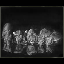 Lions at Night, wildlife, charcoal, drawing,                 Underwood