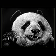 Panda, Bear, Scratchboard, Drawing,                           Underwood