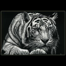 Tiger, scratchboard, drawing, Underwood