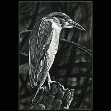 bird,                       swamp, scratchboard, drawing, Underwood
