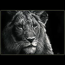 Lion, drawing,                   scratchboard, Underwood