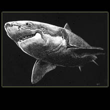 Shark,                       Drawing, Scratchboard, Underwood
